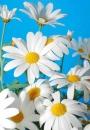 салон цветов Ромашка